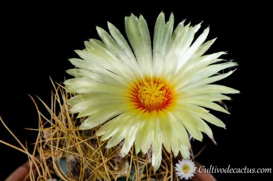 Astrophytum capricorne var. aureum