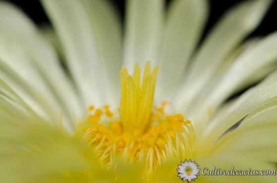 Macro de Astrophytum myriostigma