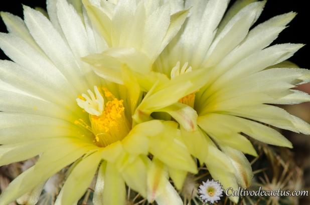 Macro de Coryphantha radians
