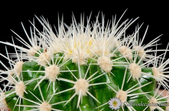 Echinocactus grusonii var. albispinus