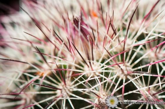 Macro de Echinocereus chlorantus