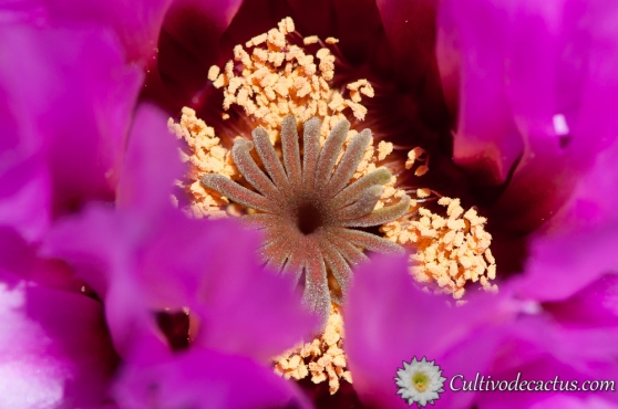Macro de Echinocereus reichenbachii