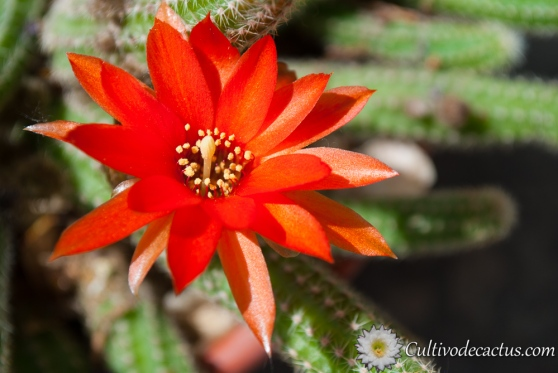 Macro de Echinopsis chamaecereus