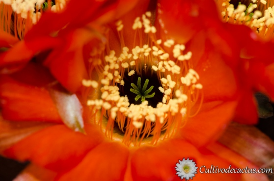 Macro de Echinopsis densispina