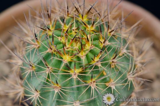 Echinopsis ferox