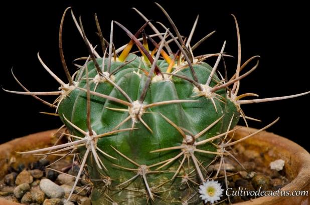 Echinopsis marsoneri