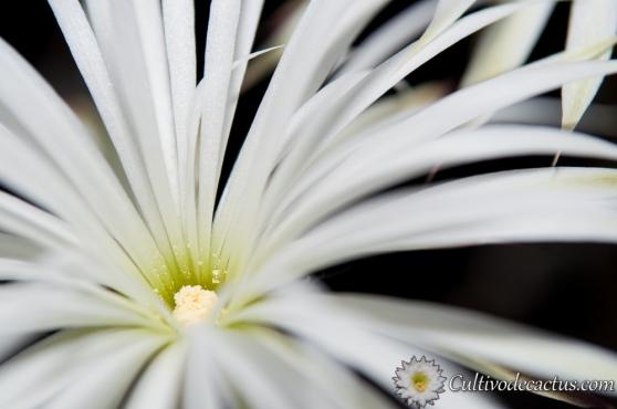 Echinopsis mirabilis