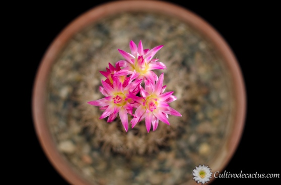 Eriosyce crispa, 21 de agosto de 2017