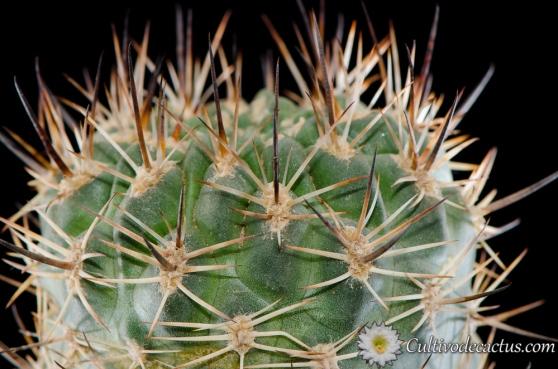Eriosyce umadeave