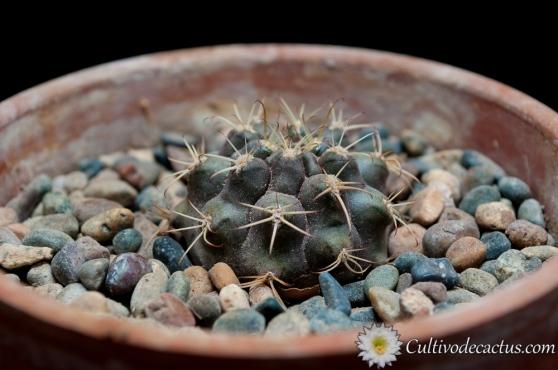 Gymnocalycium marsoneri ssp. marsoneri