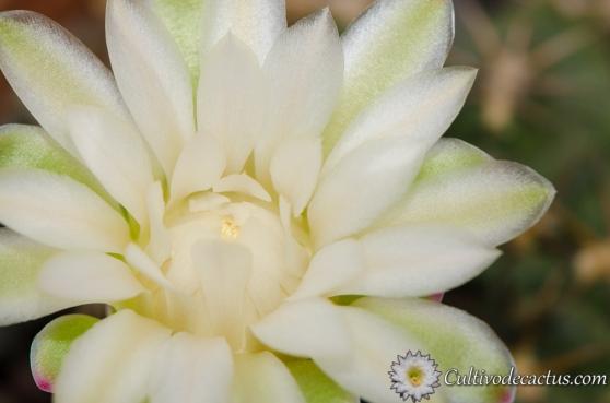 Macro de Gymnocalycium marsoneri ssp. marsoneri