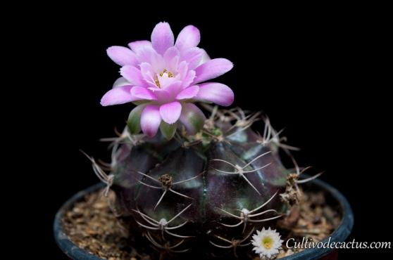 Gymnocalycium mihanovichii ssp friedrichii