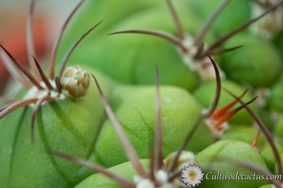 Macro de Gymnocalycium pflanzii ssp pflanzii