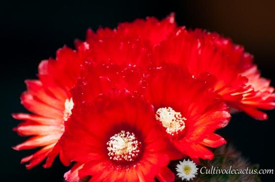 Parodia microsperma var. sanguiniflora