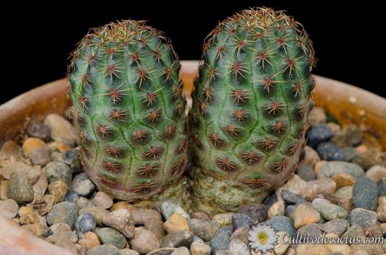 Rebutia pygmaea var. rubiflora