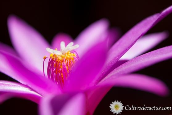 Rhipsalidopsis rosea