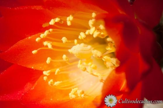 Echinopsis pampana