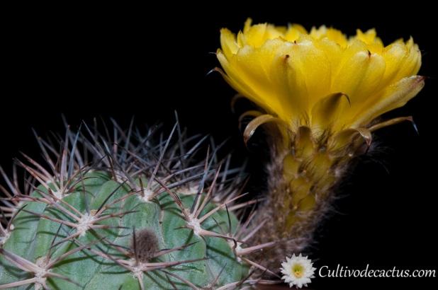 Echinopsis thionantha