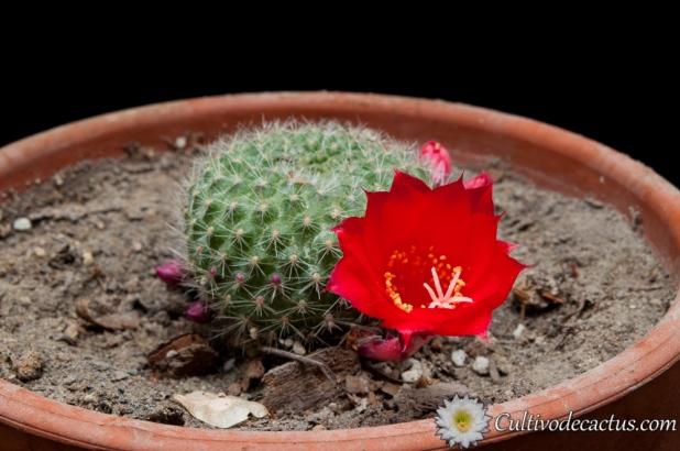 Rebutia xanthocarpa