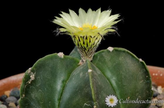 Astrophytum myriostigma var quadricostatum nudum