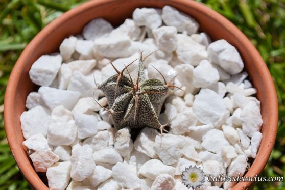 Astrophytum ornatum, especimen a