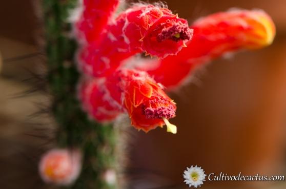 Cleistocactus baumannii