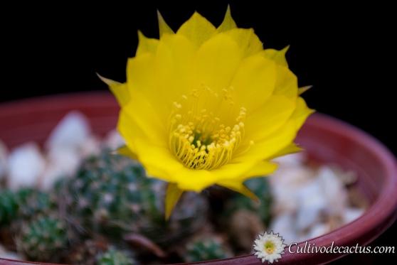 Echinopsis ancistrophora ssp. arachnacantha