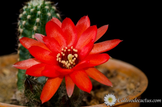 Echinopsis chamaecereus 'jubilee'