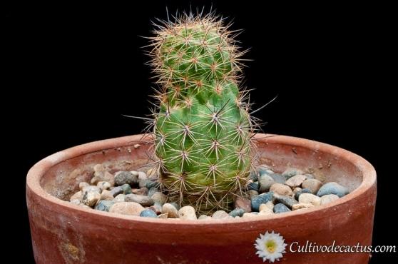 Echinopsis haemathantha var. elongata