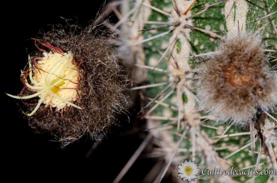 Echinopsis cv. HAKU-JO, 2 de enero de 2014