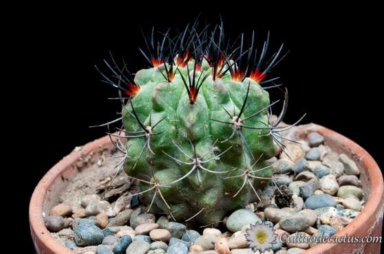 Eriosyce paucicostata
