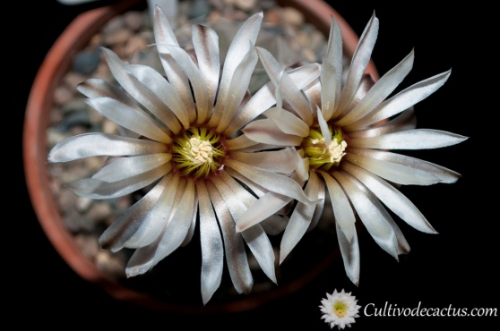 Gymnocalycium bodenbenderianum ssp. paucispinum