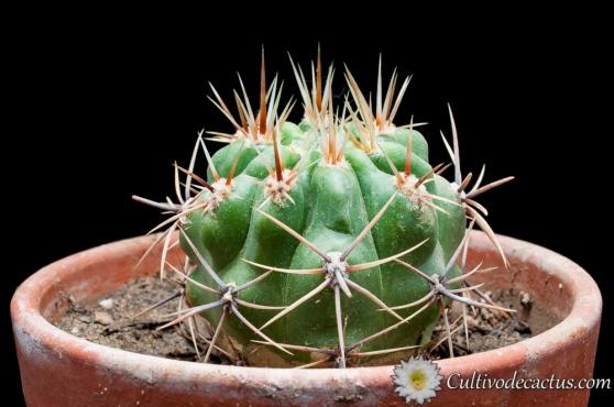 Gymnocalycium horridispinum ssp. achiraense