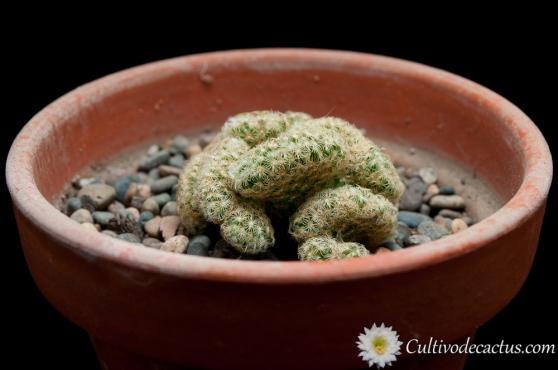 Mammillaria elongata forma cristata