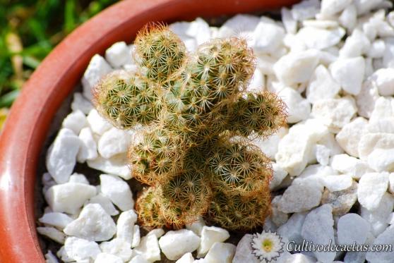 Mammillaria elongata var. rubra