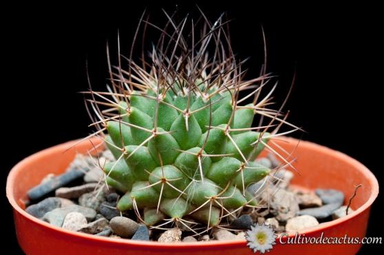 Mammillaria polythele ssp durispina