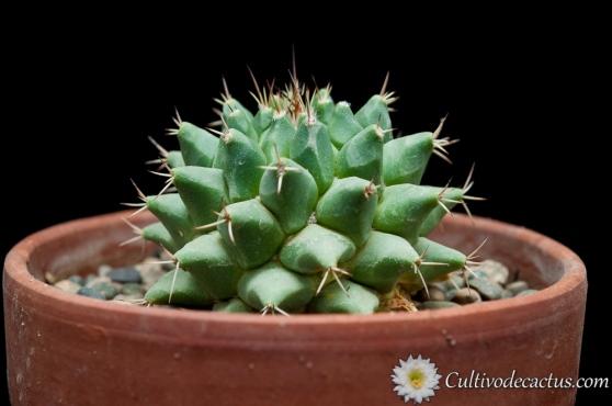 Mammillaria polythele ssp polythele