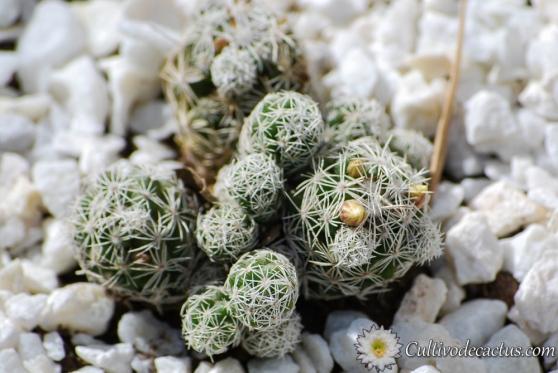 Mammillaria vetula ssp. gracilis