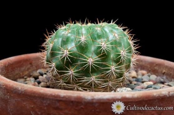 Matucana huagalensis