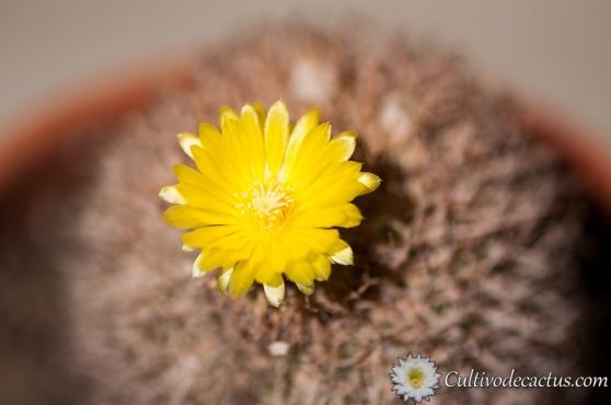 Parodia microsperma ssp. horrida