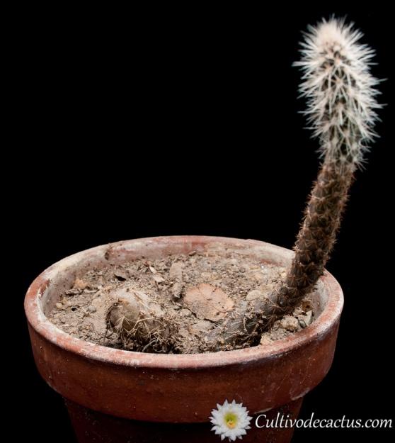 Pterocactus valentinii
