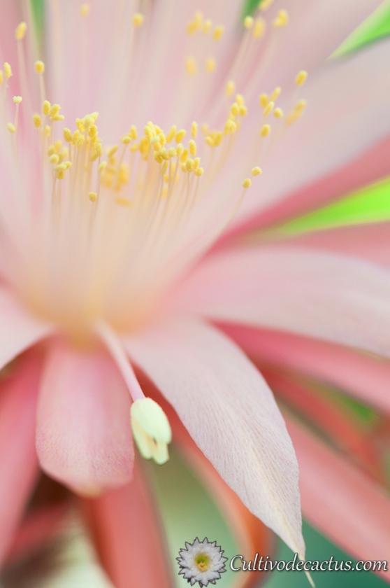 X Aporophyllum 'Dawn'