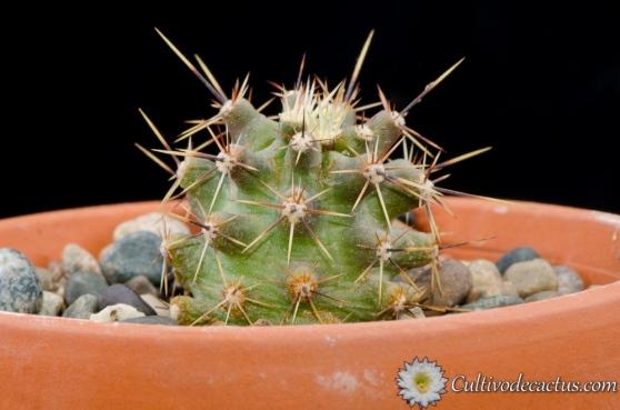 Echinocereus papillosus