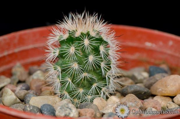 Echinocereus reichenbachii ssp. fitchii