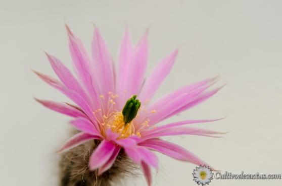 Echinocereus schmollii