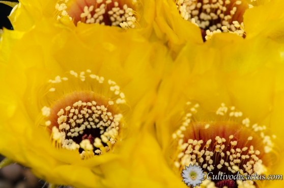 Echinopsis chrysantha