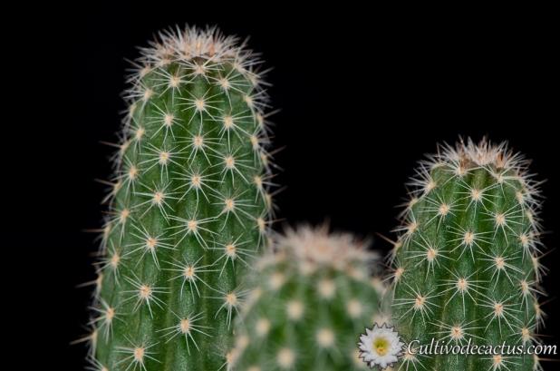Echinopsis haematantha var. amblayensis