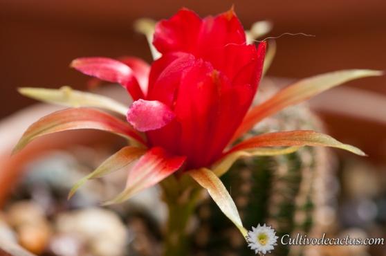 Echinopsis saltensis