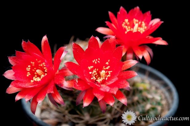 Echinopsis tiegeliana var cinnabarina