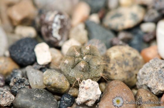Gymnocalycium berchtii